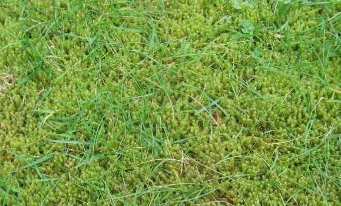Why do I have Lawn Moss?